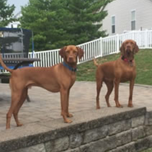 Two Male Vizsla Dogs