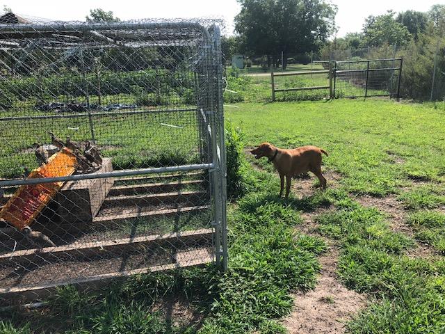 Vizsla Puppies for sale in Kansas USA